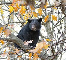 Black bear in tree by Jim Cumming