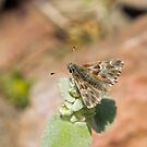 Oriental Marbled Skipper on Lesvos by Sue Robinson