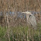 Great Blue Heron in Sacramento National Wildlife Refuge, Willows, CA by Maurine Huang