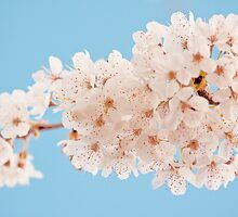 Frothy white blossom by Zoe Power