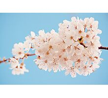 Frothy white blossom Photographic Print