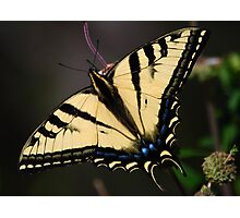 Papilio rutulus Photographic Print