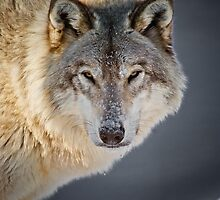 Timber Wolf Seasons Card - 22 by WolvesOnly