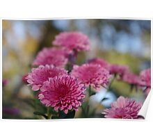 Rosy Chrysanthemum wiht gold leaves, blue sky Poster