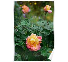 Fades wet rose with drops of  rain Poster