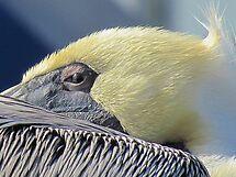 Pelican PeekABoo by gcampbell