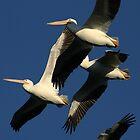 White Pelicans by fsmitchellphoto