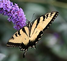 Summer Tiger by WalnutHill