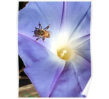 Morning Glory and Bee Poster