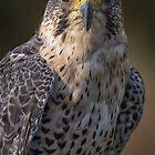 Portrait of a hybrid falcon by alan tunnicliffe