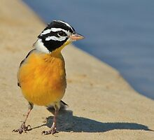 Golden Bunting - African Colorful Wild Birds by LivingWild