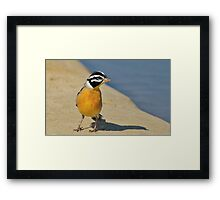 Golden Bunting - African Colorful Wild Birds Framed Print