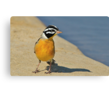 Golden Bunting - African Colorful Wild Birds Canvas Print