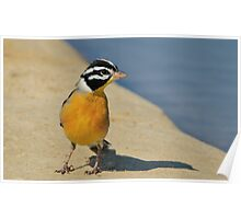 Golden Bunting - African Colorful Wild Birds Poster