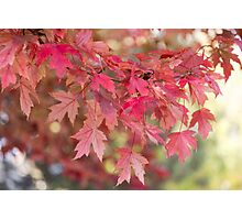 Red Maple Leaves Photographic Print