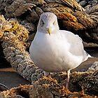 Gull at the Harbour............Dorset UK by lynn carter