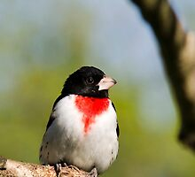 Rose Breasted Grosbeak by Christina Rollo