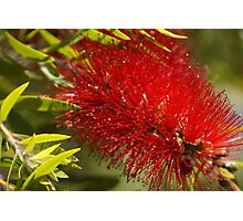 Bottle brush flower Photographic Print
