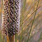 Morialta- Xanthorrhoea Flower by Ben Loveday