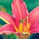Daylily in Bloom by Vicki Field