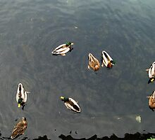 Ducks in Lago di Como (Italy) by dyanera