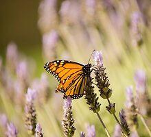 Monarch Butterfly by SusanAdey