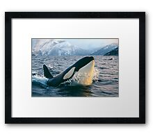 Orca - Tysfjord, Norway Framed Print