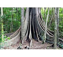 Moreton Bay Fig Tree Photographic Print