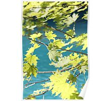 Maple Leaves in the Sun Poster