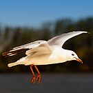 Seagull in flight 6262 by kevin chippindall