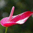 Pristine - Rose Red Anthurium Lily by Kerryn Madsen-Pietsch