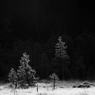 20.6.2016: Pine Trees at Cold Morning by Petri Volanen