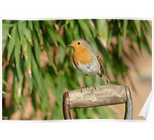 European Robin (Erithacus rubecula) on garden spade Poster