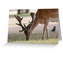 Fallow Deer buck (Dama dama) Greeting Card