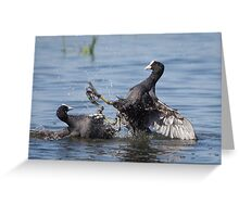 Eurasian Coot birds (Fulica atra) fighting for territory Greeting Card