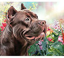 American Staffordshire Terrier Painting  Photographic Print