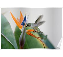 Nectar From A Bird of Paradise Poster