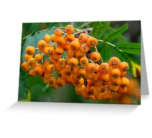 Close-up of orange Rowan tree berries or fruit Greeting Card