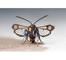 Red-tipped Clearwing moth(Synanthedon formicaeformis). Front view Photographic Print