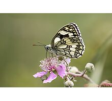Marbled White butterfly (Melanargia galathea) on pink flower. Profile view Photographic Print