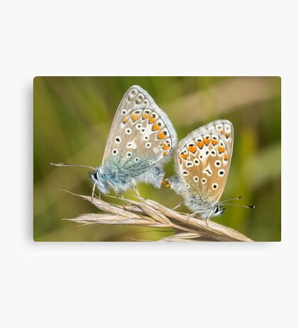 Pair of Common Blue (Polyommatus icarus) butterflies mating on a grass stem Canvas Print