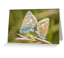 Pair of Common Blue (Polyommatus icarus) butterflies mating on a grass stem Greeting Card
