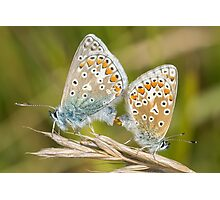 Pair of Common Blue (Polyommatus icarus) butterflies mating on a grass stem Photographic Print