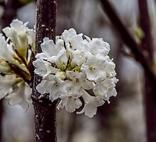 White Blossom Flowers on a Branch by Pixie Copley LRPS