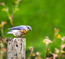 Spring Bluebird by Christina Rollo