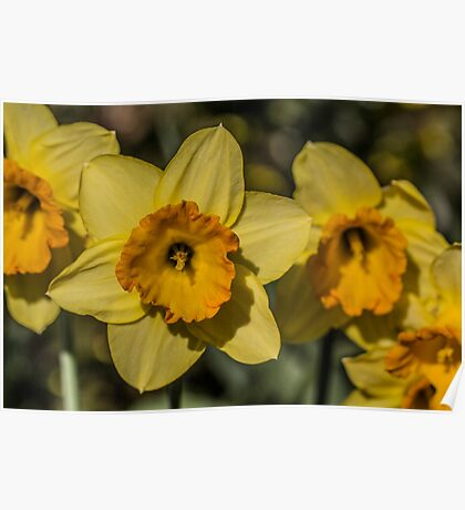 Bright Yellow Daffodil Flowers Poster
