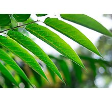 Ailanthus branch with narrow leaves Photographic Print