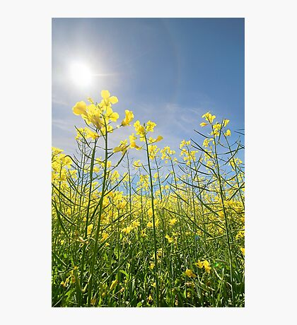 Sun Halo Over The Canola Photographic Print