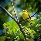 YELLOW WARBLER by Diane Peresie