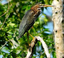 Green Heron on the Scuppernong by WonderlandGlass